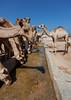 Camels drinking in a row in a farm, North-Western province, Berbera, Somaliland (Eric Lafforgue) Tags: africa animal aridclimate barbara berbera camel camelfarm colourpicture day desert developingcountries developingcountry domestic domesticated dromedary drought eastafrica exterior heat herbivorous herding hornofafrica indigenousculture livestock mammal nopeople outdoors raising ruralscene soma3994 somalia somaliland stockbreeding vertical water northwesternprovince
