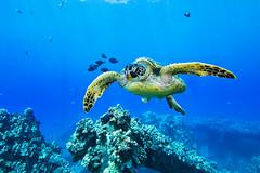 turtle7Mar27-18 (divindk) Tags: cheloniamydas hawaii hawaiianislands malaramp maui scientificname underwater diverdoug endangeredspecies greenseaturtle marine ocean reef sea seaturtle turtle underwaterphotography