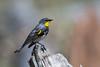 Yellow-rumped Warbler Audubon's (Melanie Leeson) Tags: birdsofcanada birdsofbritishcolumbia melanieleesonwildlifephotography yellowrumpedwarbler nikond500 nikkor200500mm birds dlsr nikon dendroicacoronata blingsister birdsofnorthamerica warblers