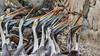 Peruvian Pelican (Pelecanus thagus) (Arturo Nahum) Tags: chile aves animal arturonahum ave airelibre birdwatcher bird birds wildflife wild nature naturaleza naturephotography pajaro pajaros peruvianpelican pelecanusthagus