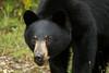 Yearling (Seventh day photography.ca) Tags: blackbear bear animal wildanimal wildlife summer mammal nature yearling ontario canada chrismacdonald 7thdayphotography