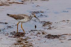 Yellow Legs (SKL_Photo) Tags: birds zooswildliferefuges nisquallynationalwildliferefuge yellowlegs