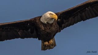 American Bald Eagle in flight over Silver Glen