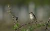 Fauvette grisette (guiguid45) Tags: nature sauvage oiseaux bird vignes loiret d810 nikon 500mmf4 fauvettegrisette sylviacommunis commonwhitethroat passériformes sylviidés affût