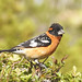 Black Headed Grosbeak on Rhus Trilobata