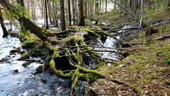 Brook from Lake Myllyjärvi (Nuuksio national park, Espoo, 20180419) (RainoL) Tags: crainolampinen 2018 201804 20180419 april brook creek esbo espoo finland fz200 geo:lat=6031303033 geo:lon=2462454507 geotagged nouxnationalpark nuuksionationalpark nuuksionkansallispuisto nyland rapid root spring tree trees uusimaa water velskola vällskog fin