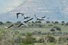Blue Cranes (Rob Keulemans) Tags: 2018 samara flying blue cranes