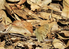 Spot the butterfly! (Ruby 2417) Tags: protective color camoflage butterfly wildlife nature insect