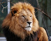 Löwe, Panthera Leo (bayernphoto) Tags: loewe panthera leo lion fell licht männlich männchen maehne schoen portrait tier katze cat strong stark maechtig beige braun blick kraft raubtier predator jagd carnivora 800mm
