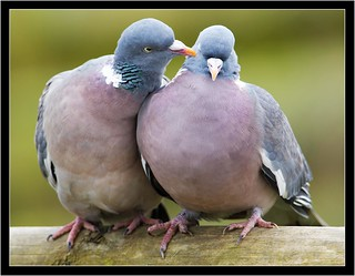 WOODPIGEON LOVE!!!