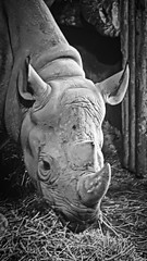 Taken at Chester Zoo on 30th August 2015 on a Samsung S6 (Cerise Bonaccorsi) Tags: zoo wildlife wildlifepark chesterzoo animal pointandshoot rhino rhinoceros