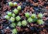 Frailea pumila seedlings (armen.cactus) Tags: cactus succulent seedlings frailea pumila