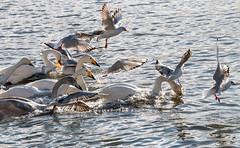 The race (einisson) Tags: race swans seagull birds reykjavíkurtjörn reykjavík iceland outdoor einisson canon70d