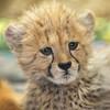 Curious Cub (Penny Hyde) Tags: babyanimal bigcat cheetah cheetahcub cub safaripark