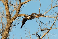 Bald Eagle launch in the morning light - 6 of 13