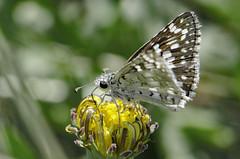 Pyrgus communis 2017-5 (lindnys) Tags: commoncheckeredskipper fortlaramie pyrguscommunis butterfly sommerfugl communis wyoming usa us