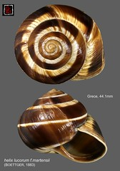 helix lucorum f.martensii3 grece 44mm1 (MALACOLLECTION Landshells Freshwater Gastropods) Tags: gastéropodes gastropods invertebrates faune fauna macro gastropoda escargots terrestres collection schnecken mollusques molluscs mollusca coquillages landshells landschnecken landmollusken landsnails malacologie malacology macrophotography macrophotographie helicidae helicinae helicini helix helixlucorumfmartensii boettger1883 grece greece northathene macedoine macedoniaregion kozani claudeandamandineevanno
