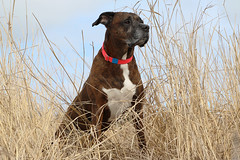 12/52/18 Lifeguard (Hodgey) Tags: dog ralph boxerx brindle beach grasses lifeguard winter maine 52weeksfordogs photobypeterjacksonakafarleyj