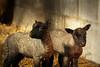 little Lambs (~ **Barbara ** ~) Tags: llanwenog sheep lambs welsh wales spring newlambs wool farm barn cold snow sunshine fields canon7dii cymru