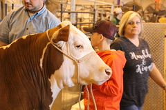 IMG_1895 (melodavis@sbcglobal.net) Tags: rodeohouston 2018 rodeo livestock heifer farmlife steer saddlebronc bronc bull bullriding calfscramble alpaca