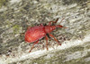 Weevil - Apion frumentarium (Prank F) Tags: kettonquarry lrwt wildlifetrust ketton rutland uk wildlife nature insect macro closeup beetle weevil apionfrumentarium