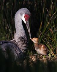 Love in the Spotlight (PeterBrannon) Tags: bird crane florda florida gruscanadensis nature nest polkcounty sandhillcrane tallbird wildlife babybird babycrane colts