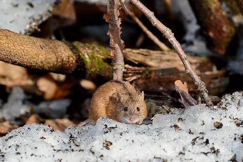 Полевая мышь, Apodemus agrarius, Striped Field Mouse