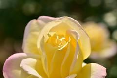 Rose 'Peace' raised in France (naruo0720) Tags: rose frenchrose peace ばら バラ 薔薇 フランスのバラ ピース マクロ ボケ sigmalenses macro bokeh