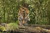 Sumatran Tiger. (Nigel Paine) Tags: bigcat tiger bigcatsanctuary wildlifeheritagefoundation whf kent pantheratigrissumatrae canon7dmkii ef70200f28 puna bcs