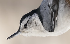 In Your Face, Nuthatch! (Randy E. Crisp) Tags: randyecrisp randycrisp crisp canon tamron150600mm sky woods grass field wildlife branches leaves zoom prime 7dmkii 7dmark2 7dmk2 100400mm outdoor outdoors redriver lamarcounty nwr graysoncounty sherman tx texas centralflyway water 2018 2017 2016 2015 2014 2013 nature limb perched trunk vegetation handheld cropcamera whitebreastednuthatch