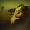 Quietly observing (Jo ~) Tags: cow cattle farm animals texture square littledoglaughednoiret littledoglaughedstories