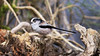 Long-tailed Tit - Aegithalos caudatus (jaytee27) Tags: longtailedtit aegithaloscaudatus localwoodkent naturethroughthelens