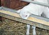 Eating creep (baalands) Tags: katahdin hair sheep lamb feeder feed corn creep