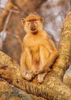Yellow Baboon  3250