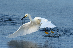 Snowy Egret (Gatorgirl51) Tags: snowy egret fishing minnows wading bird nikon 7100