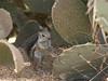 Harris' Antelope Squirrel - Ammospermophilus harrisii (StoufferLSU) Tags: arizona mammals rodentia