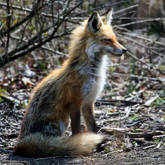 Red Fox at Bombay Hook NWR.....6O3A8385A (dklaughman) Tags: redfox bombayhooknwr delaware