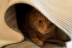 Butterscotch in his Cat Cave (WilliamND4) Tags: cat tabby pet cute nikon d810