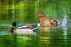 Morning routine (Sergio '75) Tags: mallard anasplatyrhynchos water lagoon laguna nature natura natur naturaleza naturallight natural naturephotograph naturephotography animals wildlife wild colors colorful splash canon canoneos70d sigma150600mmf563dgoshsmc