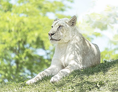 White Lioness (Ruth Voorhis) Tags: lion cat wildanimal fur grass tree foliage leaves