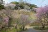 18o9297 (kimagurenote) Tags: 多摩森林科学園 tamaforestsciencegarden 桜 sakura cherry blossom prunus cerasus flower tree 東京都八王子市 hachiojitokyo