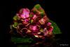 Multicolored hydrangea (Magda Banach) Tags: canon canon80d hydrangeamacrophylla sigma150mmf28apomacrodghsm blackbackground colors flora flower green hortensia macro nature pink plants