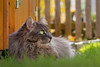 Life in Spring (FocusPocus Photography) Tags: fynn fynnegan katze kater cat chat gato tier animal haustier pet rasen lawn gras grass frühling spring zaun fence
