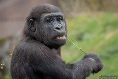 Pepe (Matthes S.) Tags: canon70200128lisiiusm canon7dmarkii gorilla gorillagorillagorilla kamera krefeld menschenaffe natur primat säugetier tier trockennasenaffe zoo zookrefeld