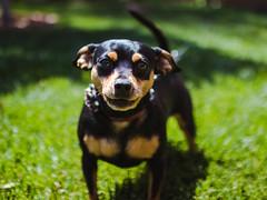 Hello, nice to meet you! (francisXL23) Tags: canon eos rebel t7i 800d sigma 30mm dc art lens portrait pretty smile beautiful photography sunny pets pet dog miniature pincher cute mans best friend