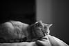 Dozing (h329) Tags: 50mm aposummicronasph f20 bed cat bw dozing leica m