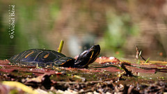 ninja pas déguisée. (gimi.bene) Tags: tortue grosplan planrapproché proxy profondeurdechamp extérieur depthoffield outdoor marais canoneos viesauvage