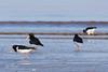 IMG_5839-2.jpg (Leo Kramp) Tags: 2018 vogels goedereede scholekstersteltloper accessoires kwadehoek natuurfotografie dieren benrogimbalheadgh2 flickr gitzogt3542ltripod zuidholland nederland nl