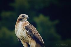 Buse dressé... ( P-A) Tags: aigle bec dressage oiseau plumage rapace serres griffes pattes buse busard oiseaudeproie parcoméga montébelloquébec démonstrationphotos simpa©