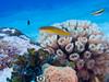 Wrasse (R. Donald Winship Photography) Tags: aquaticlife chankanaabreef cozumel divingunderwater yellowheadwrasse